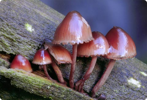 Mycena haemotopus - 2do Premio 2007